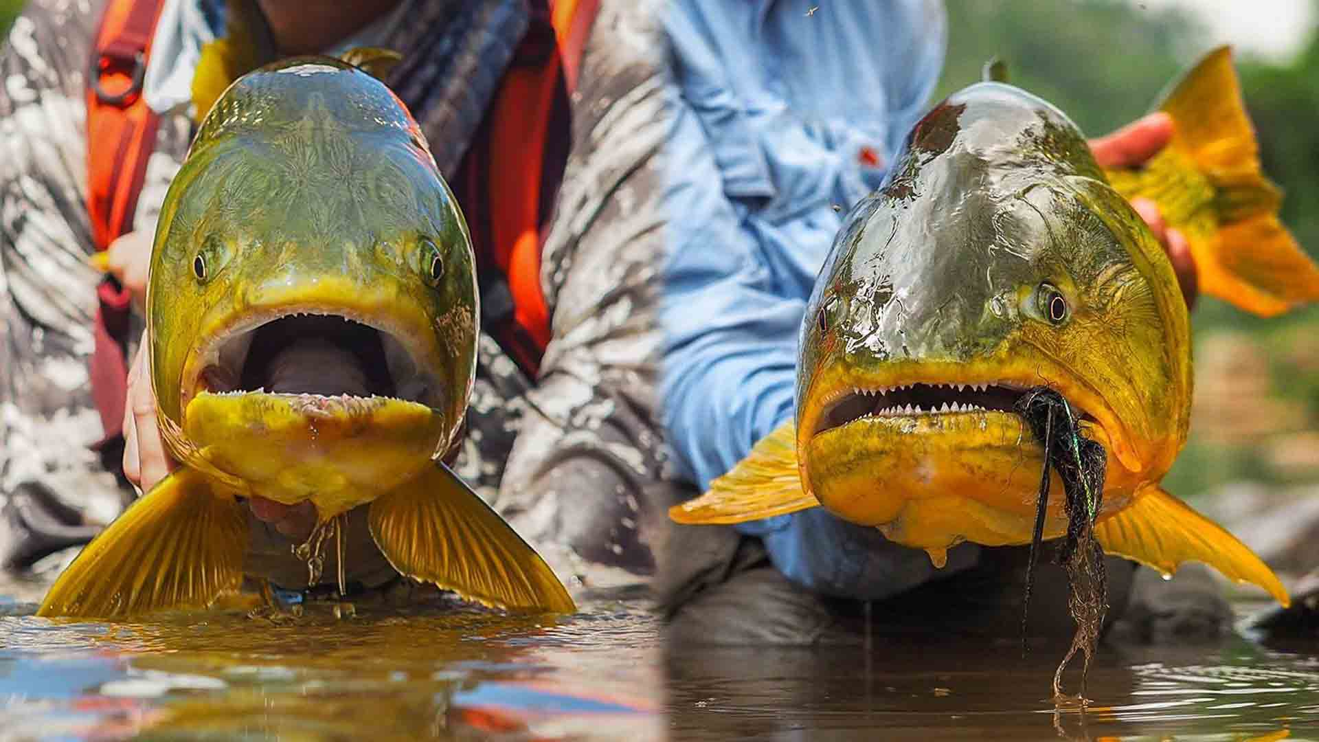 Jungle Fishing for Golden Dorado