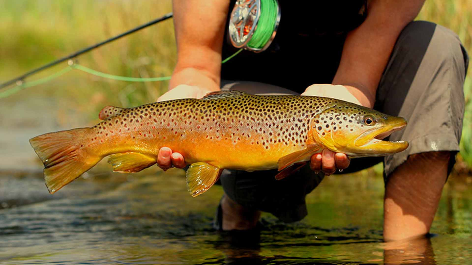 Ruby River Brown Trout