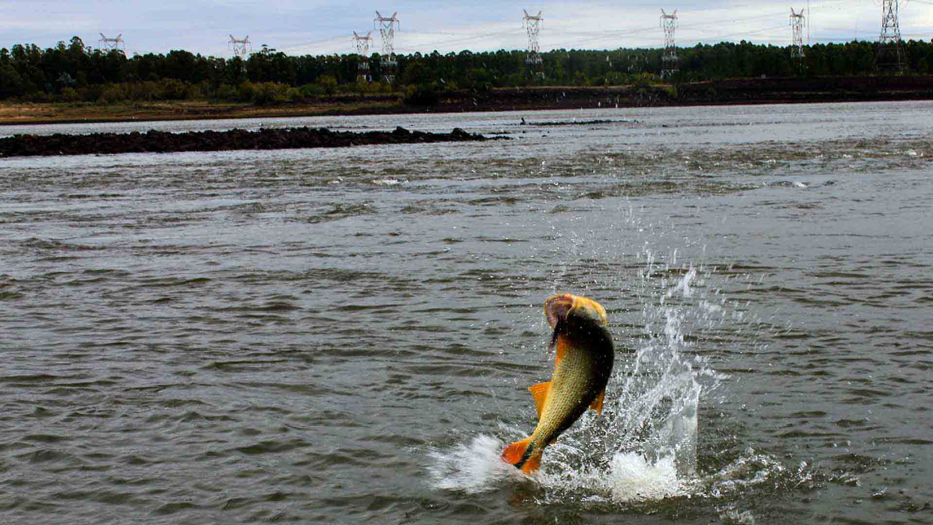 Jumping golden dorado