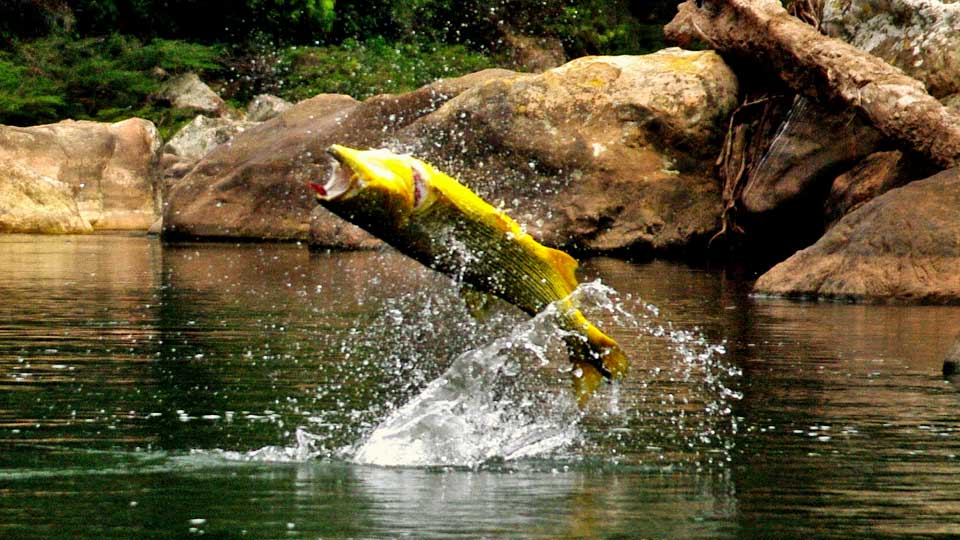 Fly fishing for golden dorado