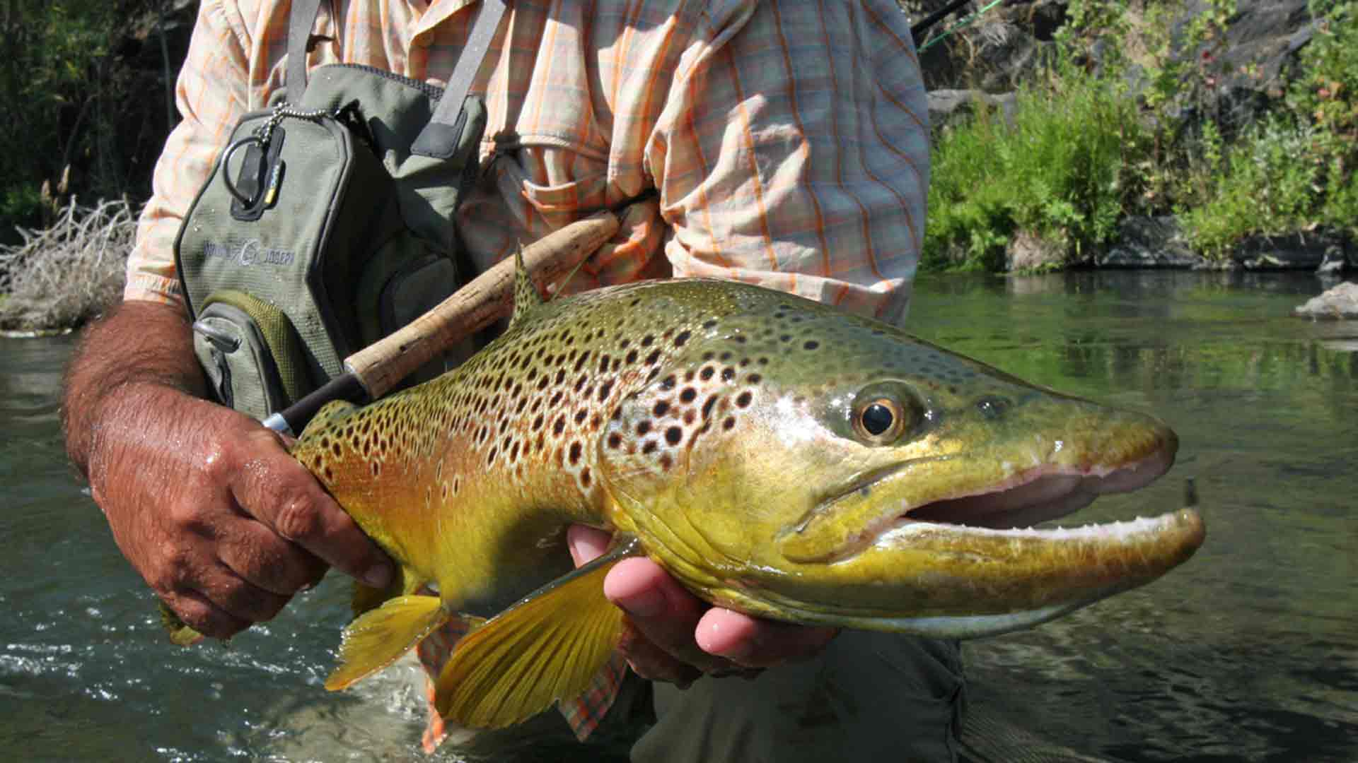 Beaverhead Brown Trout