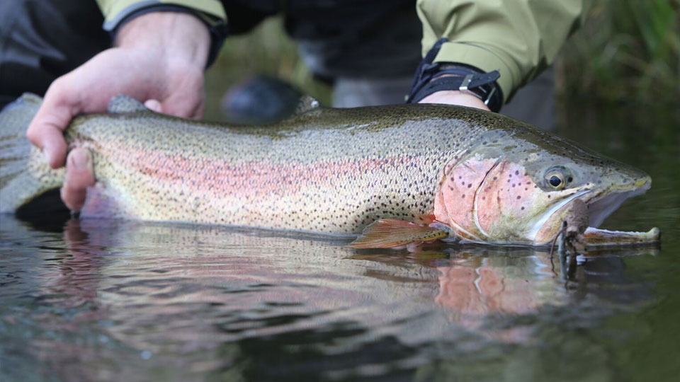Kamchatka Rainbow Trout Fishing